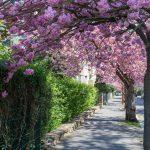 Cherry Blossom, Deutschland, Europa, Europe, Frühling, Germany, Hessen, Hessia, Kirschblüte, Location, Marburg, Mittelhessen, Ort, Spring
