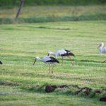 Amöneburg, Animal, Bird, Deutschland, Europa, Europe, Germany, Hessen, Hessia, Location, Ort, Storch, Vogel, stork